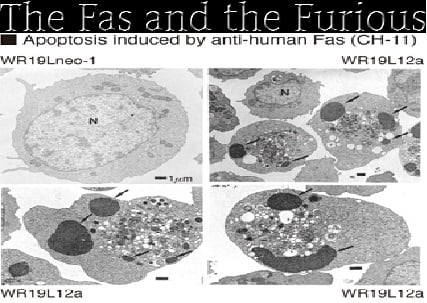 Apoptosis induced by Fas antibody