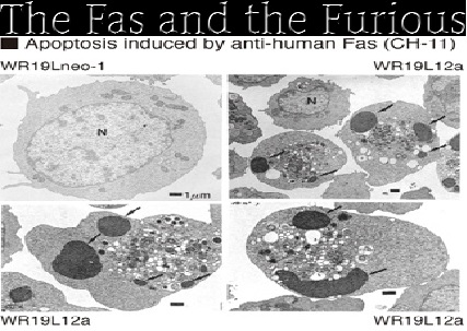 Apoptosis induced by Fas antibody